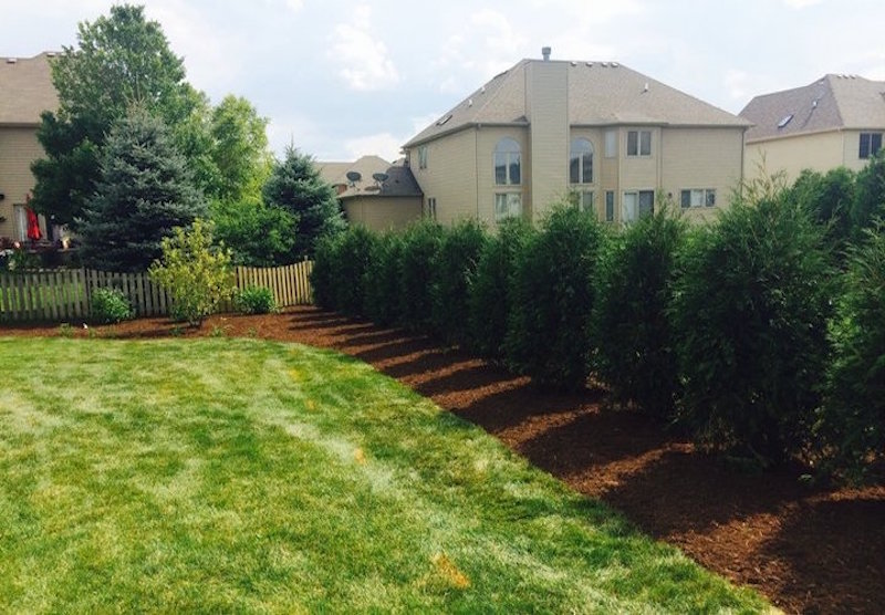 Arborvitae Trees for Additional Privacy